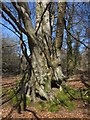 SX8179 : Beech, Bearacleave Wood by Derek Harper