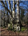 SX8179 : Beeches, Bearacleave Wood by Derek Harper