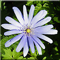 TQ1776 : Blue Anemone (Anemone apennina) by Anne Burgess