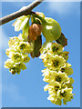TQ1876 : Corylopsis by Anne Burgess