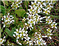 J4682 : Scurvygrass, Crawfordsburn by Albert Bridge