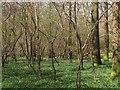 TQ1517 : Capite Wood by Simon Carey