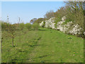 TL9227 : Saplings and Spring Hedgerow, Fordham Hall Estate by Roger Jones