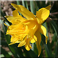 NJ7254 : Wild Daffodil? by Anne Burgess