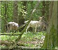 SP9513 : Albino Fallow Deer, Aldbury Nowers by Rob Farrow