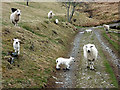 SN7679 : Ewes and lambs on the track through Tymawr by John Lucas