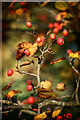SU5598 : Berries in the Arboretum by Des Blenkinsopp