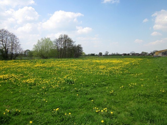 Field of Dandelions at Trevalyn