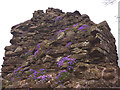 NY7802 : Aubretia on Pendragon Castle by Karl and Ali