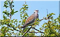 TM1631 : Turtle Dove (Streptopelia turtur) by Peter Pearson