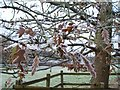SP3272 : Frost on the oak by Susan Vickery