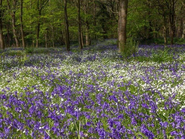 Spring Flowers In Oakley Wood 169 David P Howard Cc By Sa 2