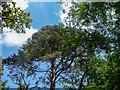TQ2897 : Pine Trees, Trent Park, Cockfosters, Hertfordshire by Christine Matthews