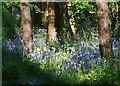 SU6474 : Bluebells in Sulham Wood, near Sulham, Berkshire by Edmund Shaw