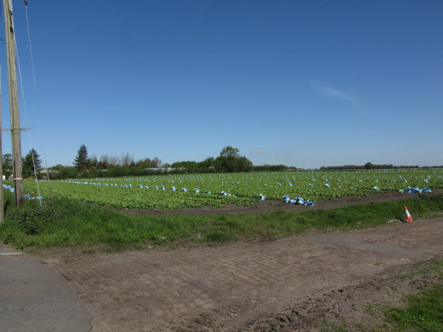 A field of lettuces