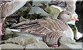 J4774 : Greylag geese, Kiltonga, Newtownards (10) by Albert Bridge