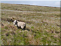 SD9815 : Sheep Grazing on Slippery Moss by David Dixon
