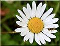 J4582 : Ox-eye daisy, Helen's Bay : Week 26
