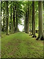 SP1743 : Avenue of Trees, Hidcote Manor Gardens by David Dixon