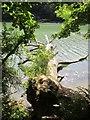 SW7425 : Fallen oak tree in Frenchman's Pill by Dr Duncan Pepper