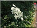 NS5562 : Head of cow parsley beside Dumbreck Road by Alec MacKinnon
