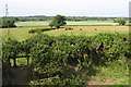 SP8125 : Sheep eroded hedge and grazing cattle by Philip Jeffrey