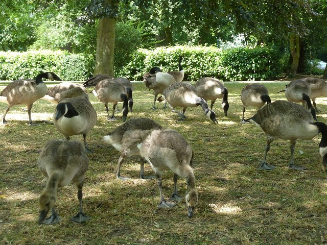 Gaggle of Canada Geese (Branta canadensis)