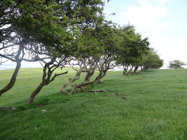 Windswept hawthorns on Bryn Golau