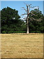 SP6839 : Dead tree in the pasture by Tilehouse Woods by Philip Jeffrey