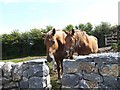 R2798 : Two horses at Carran by Oliver Dixon