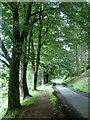 SK1692 : Lane and beech trees : Week 30