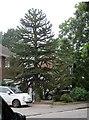 TQ8012 : Monkey Puzzle Tree, Cockcrow Wood by Julian P Guffogg