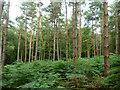 TQ2130 : Pines and bracken, St. Leonard's Forest by Robin Webster