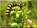 H7085 : Cinnabar moth caterpillar, Davagh Forest : Week 32