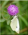 NX4838 : Small White (Pieris rapae), Cairnhead Bay by James T M Towill