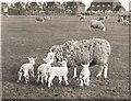 TF4008 : Sheep and lambs - Seadyke Farm, Wisbech St Mary by The Humphrey family archive