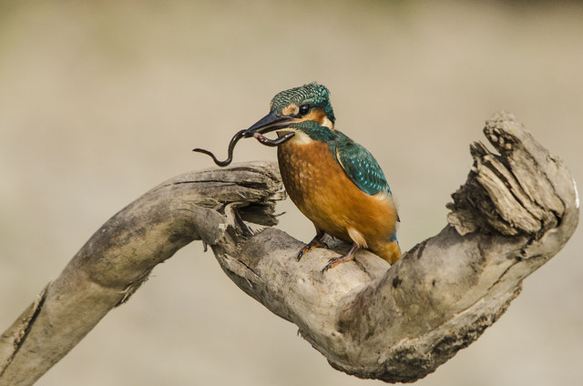 Kingfisher with Elver as prey - River Ogmore