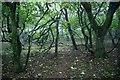 HP6209 : The wood at Halligarth, Baltasound : Week 37
