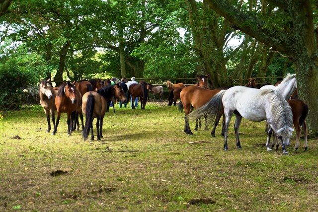 New Forest Ponies, Pilley