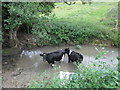 ST7868 : Cattle having a dip in St Catherine's Brook by Basher Eyre