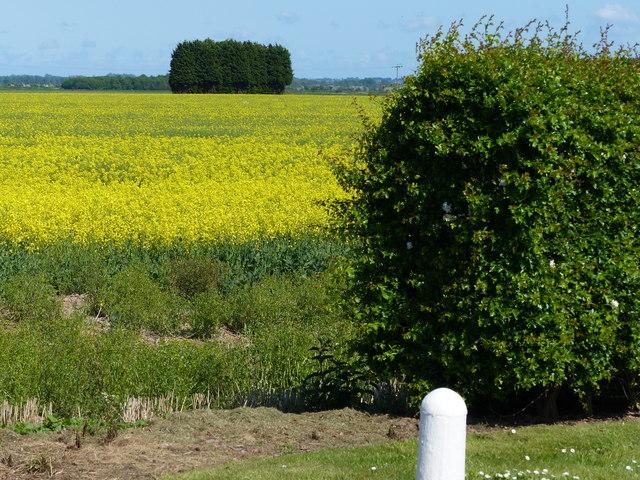 Oil seed rape near Pierrepont Farm