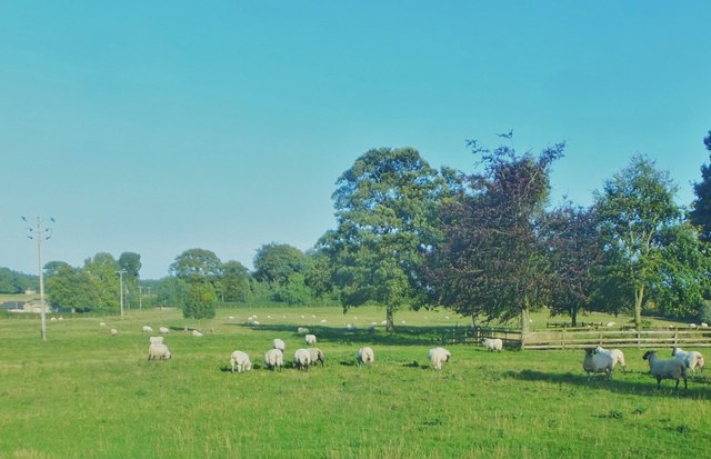 Sheep grazing by Belsay Hall