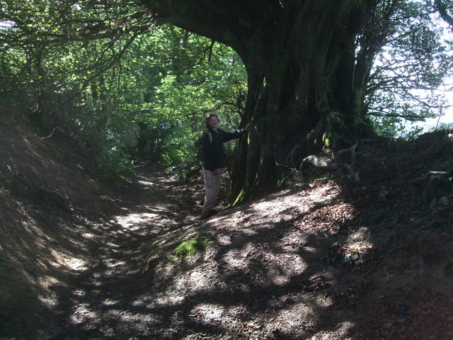 Beech tree, Lewesdon Hill Lane
