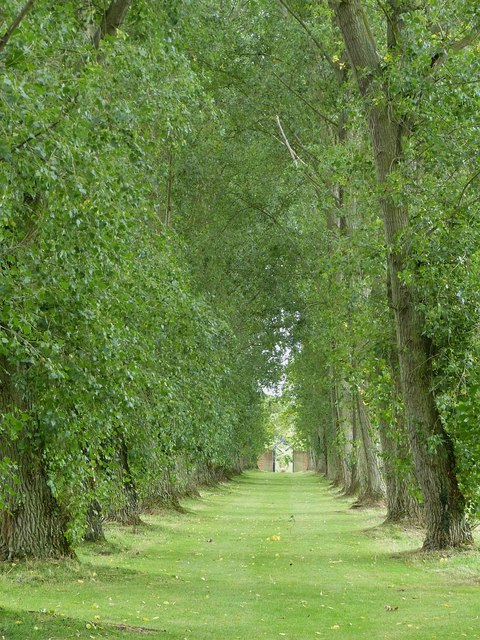 Avenue of Black Poplars