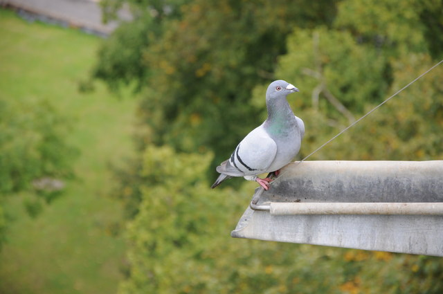 Pigeon on Pershore