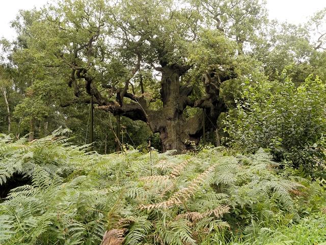 Sherwood Forest, Approaching the Major Oak