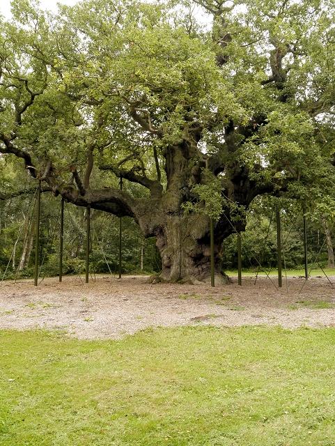The Major Oak, Sherwood Forest