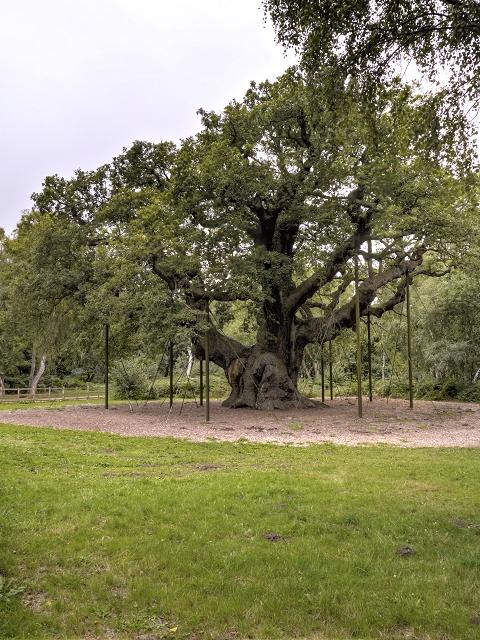 Sherwood Forest, The Queen Oak (Major Oak)