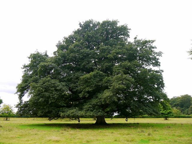 Oak tree on the Blickling Estate