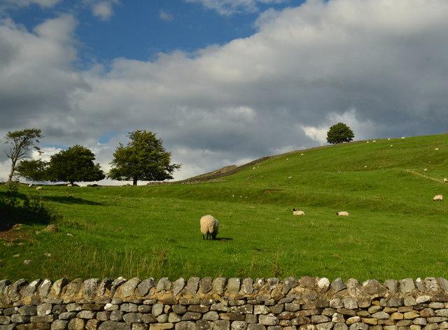 Sheep in pasture off Burnsall Lane